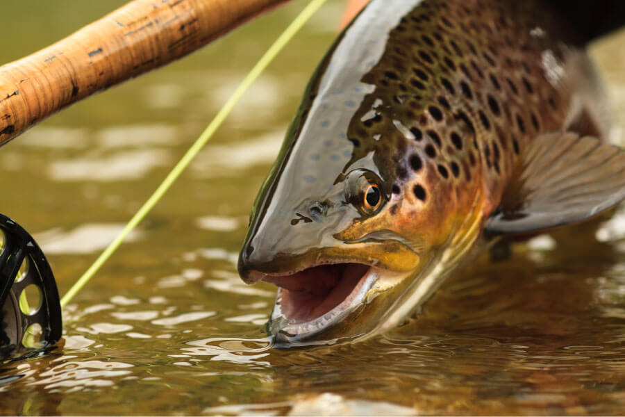 Fly fishing in the Eastern Sierra's for Rainbow and Golden Trout